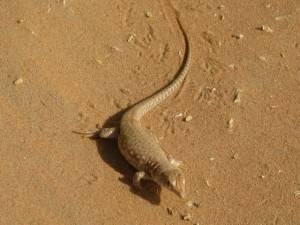 Sand fish in Liwa
