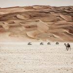 Camels in Liwa